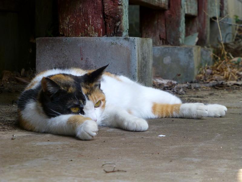 拝殿の横で休憩する三毛猫2