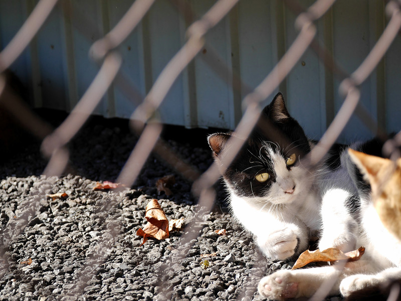 風に舞う落ち葉で遊ぶ黒白猫2