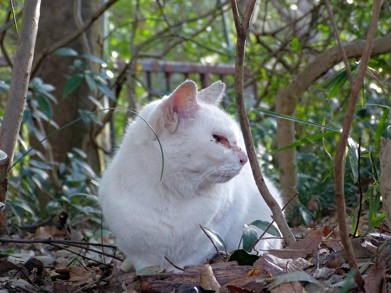 草薮の白猫3
