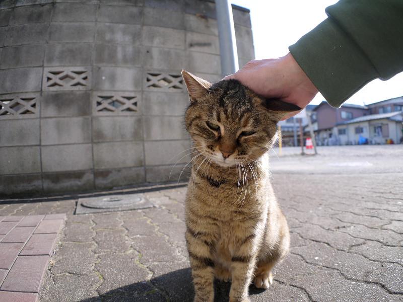 逆光の中で触られてるサビ柄猫3