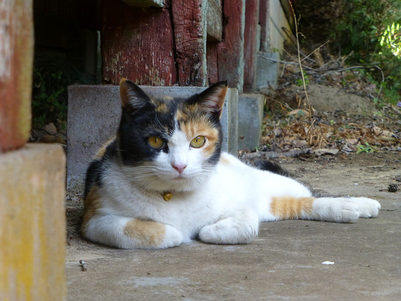 拝殿の横で休憩する三毛猫3