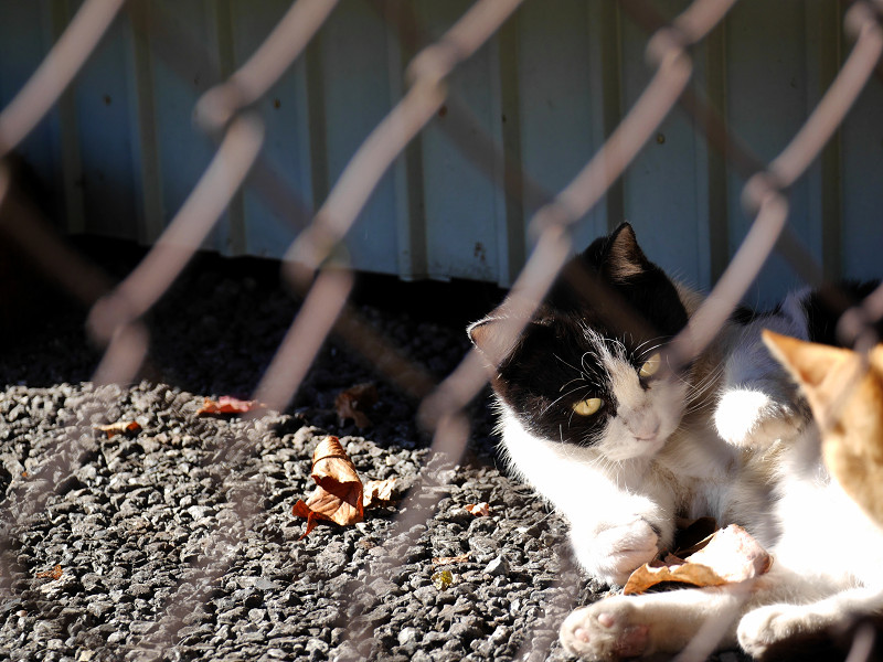 風に舞う落ち葉で遊ぶ黒白猫3