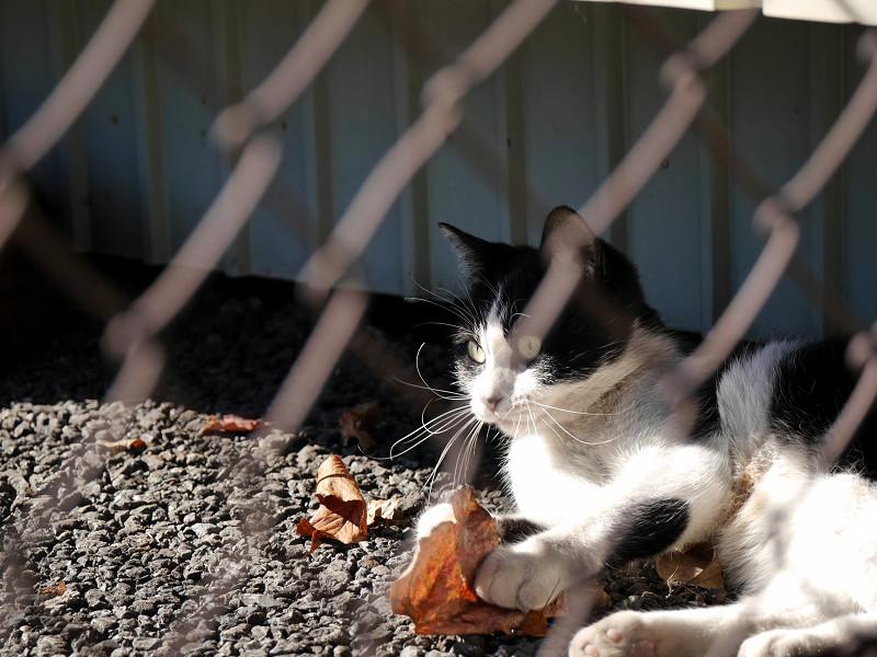 風に舞う落ち葉で遊ぶ黒白猫4