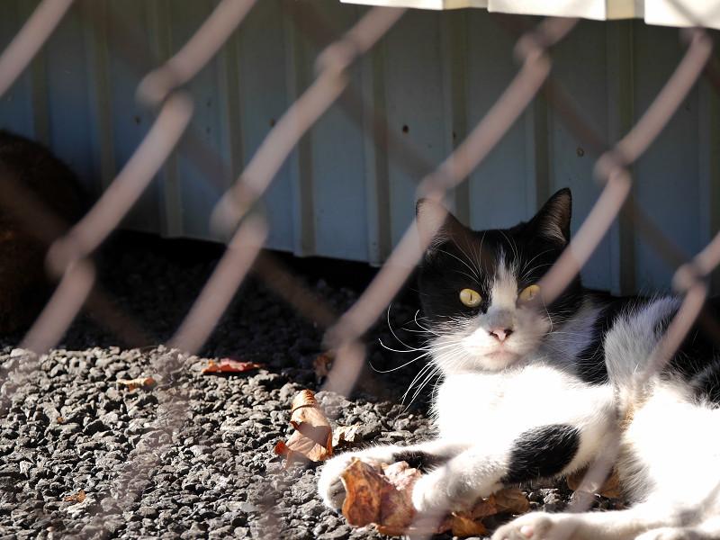 風に舞う落ち葉で遊ぶ黒白猫5
