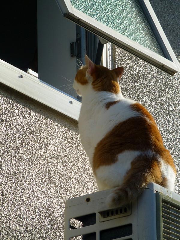 窓の外でチャオちゅーるを待ってる茶白猫1