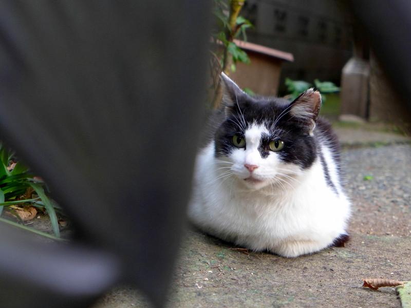 玄関先で香箱を組んでる黒白猫1