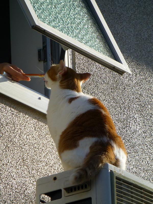 窓の外でチャオちゅーるを待ってる茶白猫2
