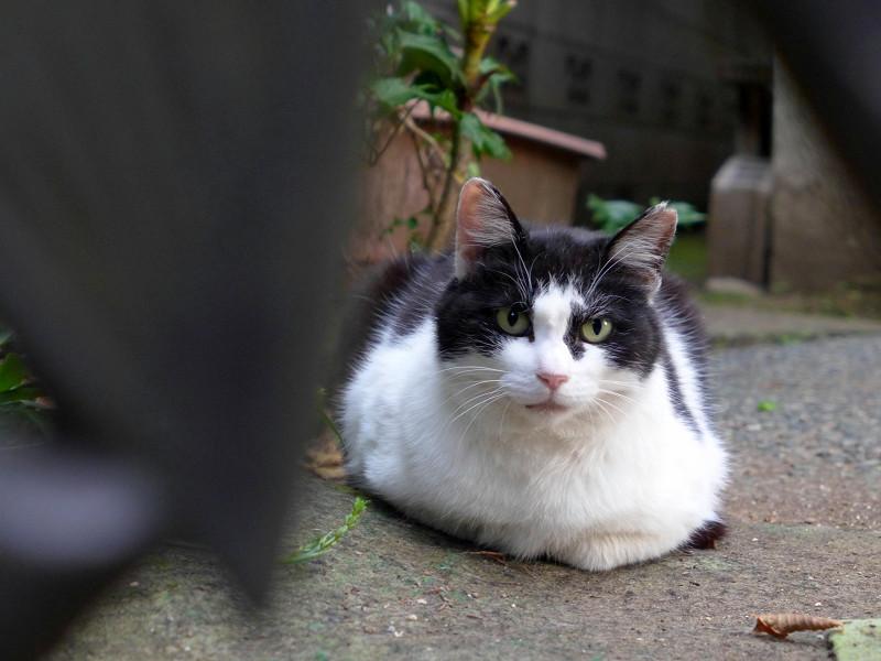 玄関先で香箱を組んでる黒白猫2