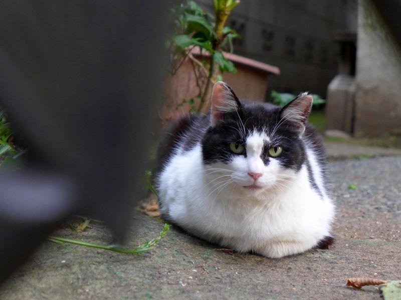 玄関先で香箱を組んでる黒白猫3