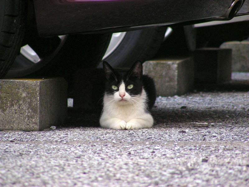 駐車場香箱の黒白猫1