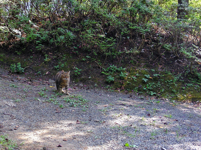 道を歩いてきたキジトラ猫1