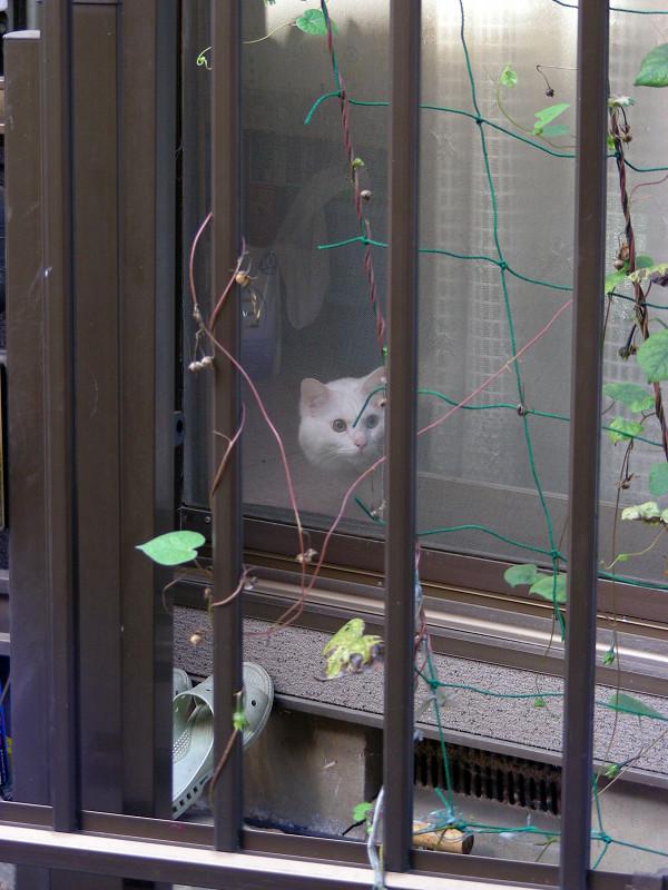 網戸とオッドアイ白猫1