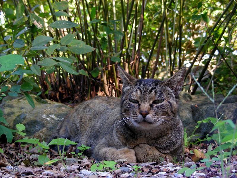 腹ばってるキジトラ猫1