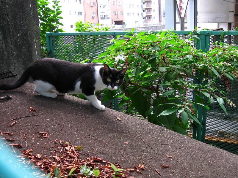 運河沿いの黒白猫1