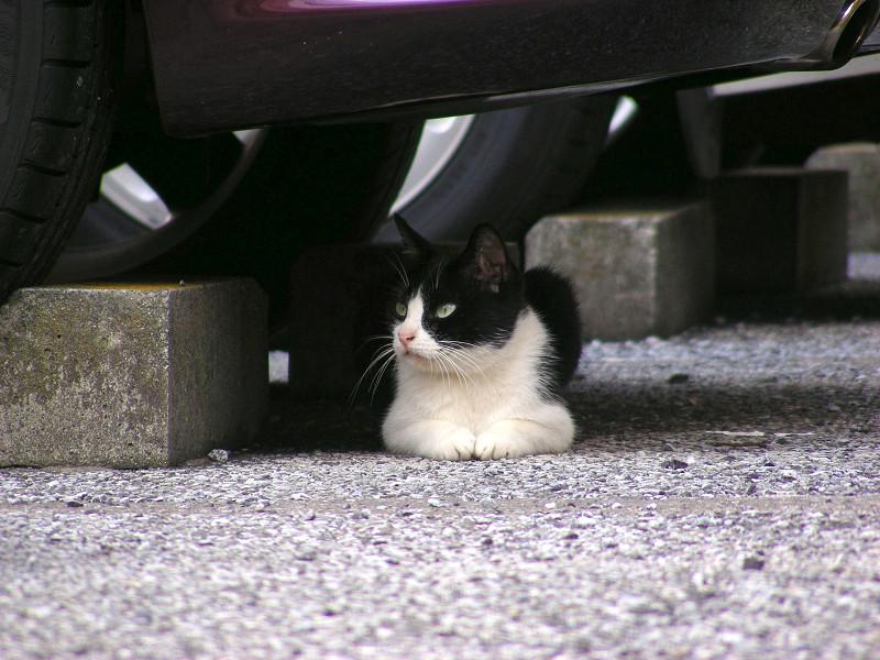 駐車場香箱の黒白猫2