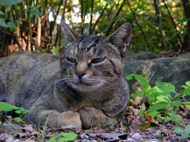 腹ばってるキジトラ猫2