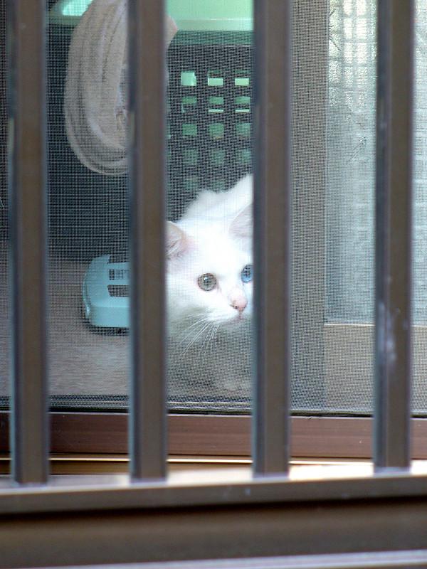 網戸とオッドアイ白猫2