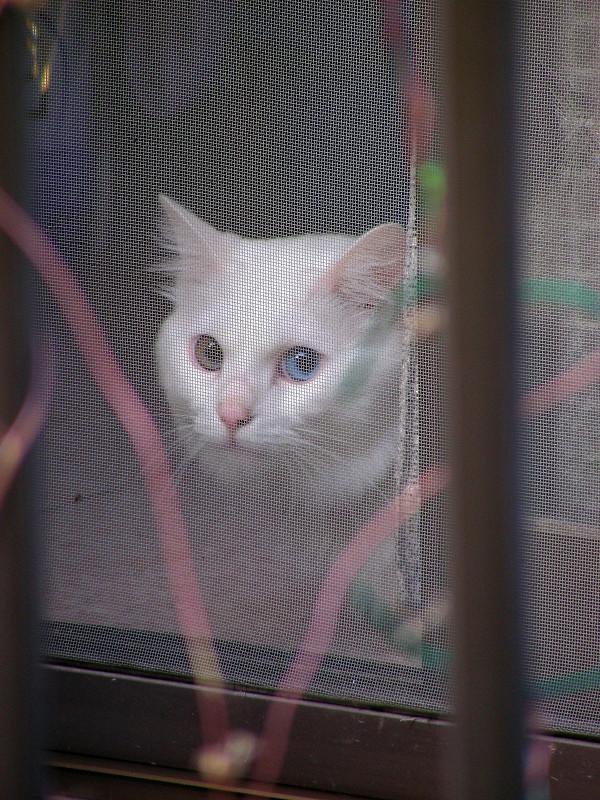 網戸とオッドアイ白猫3
