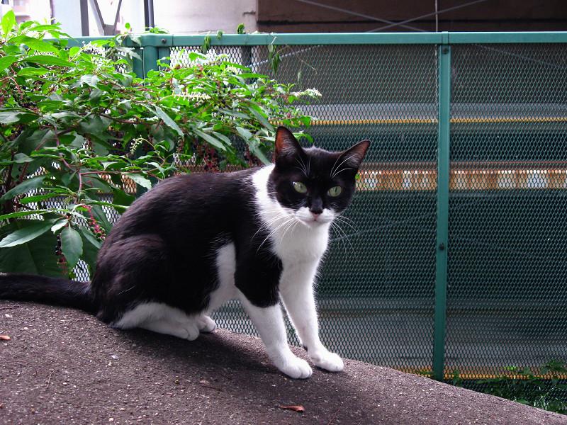 運河沿いの黒白猫3