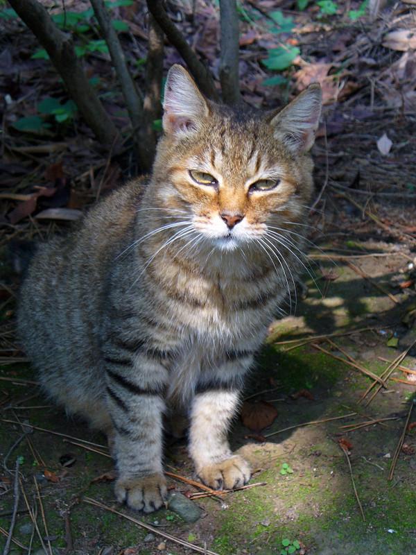 道を歩いてきたキジトラ猫3