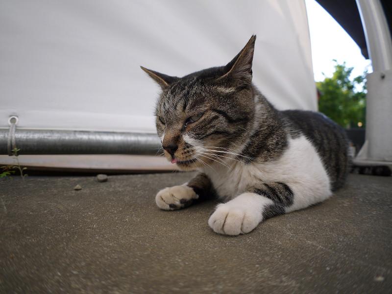 腹ばいながらベロを出すキジ白猫1
