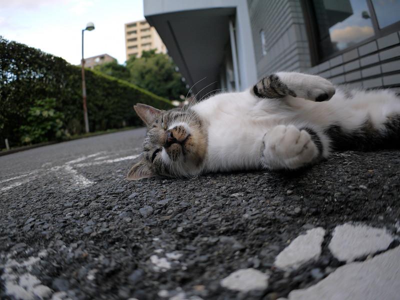 モゾモゾ寝転がるキジ白猫1