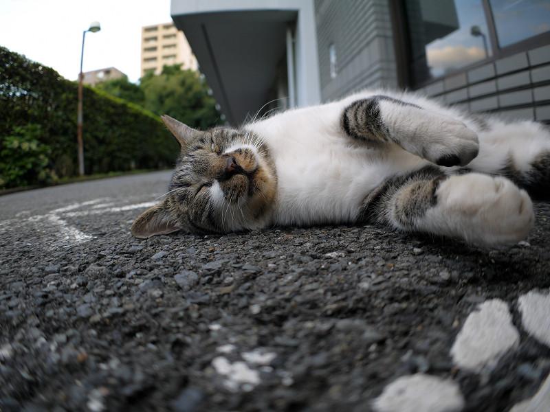 モゾモゾ寝転がるキジ白猫3