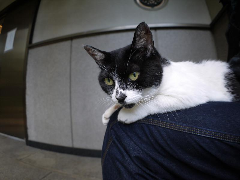 膝の上で目覚めた白黒猫1