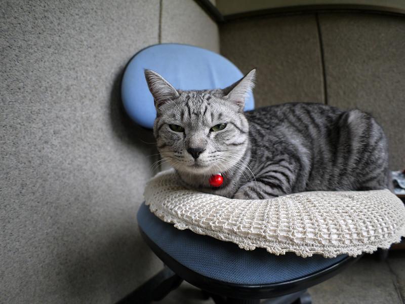 チェアに座ってるサバトラ猫2