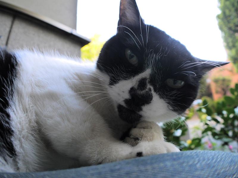 睨みつけてる白黒猫2