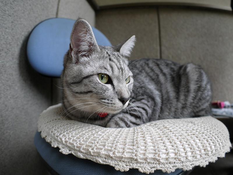 チェアに座ってるサバトラ猫3