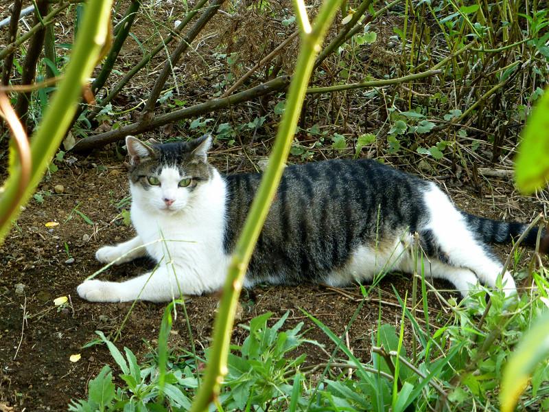 公園草むらのキジ白猫1