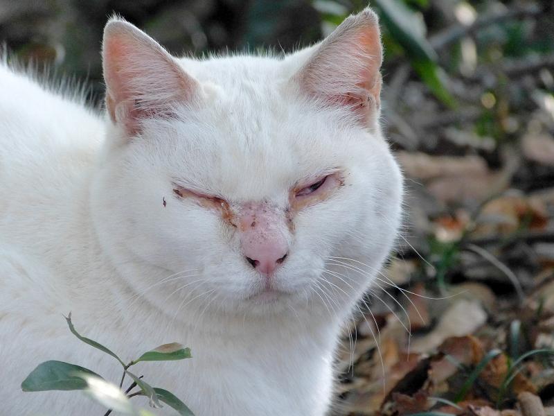 茂みの白猫1