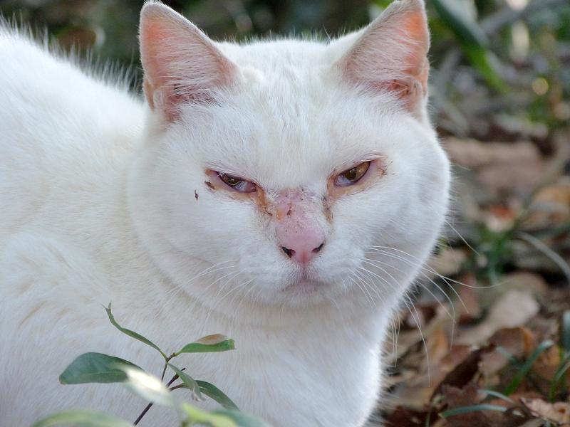 茂みの白猫2