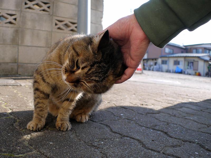 触られ続けるサビ柄猫2