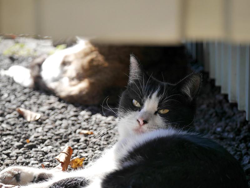 ビックリ風な黒白猫2