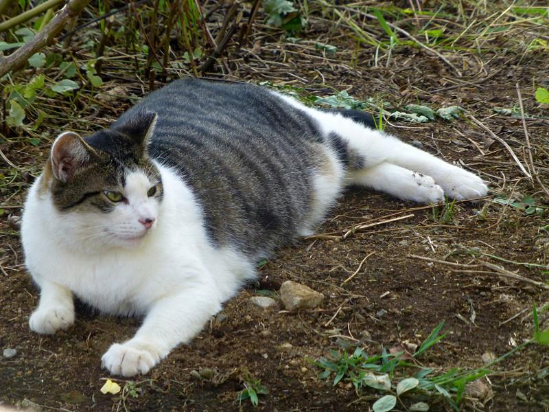 公園草むらのキジ白猫3
