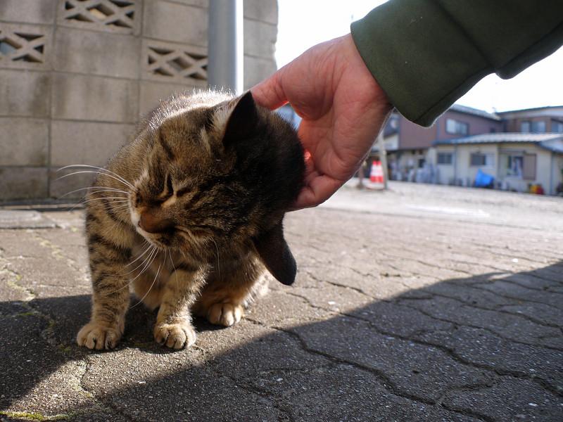 触られ続けるサビ柄猫3