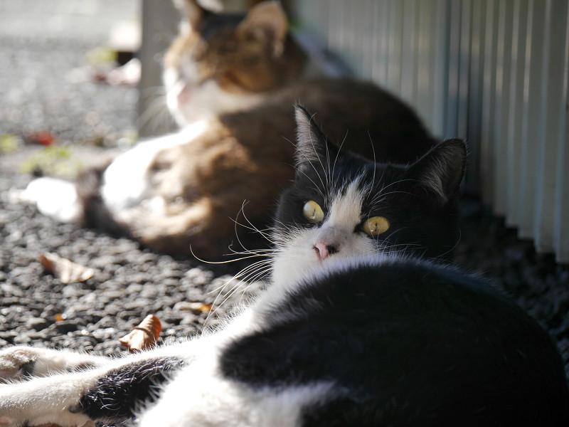 ビックリ風な黒白猫3