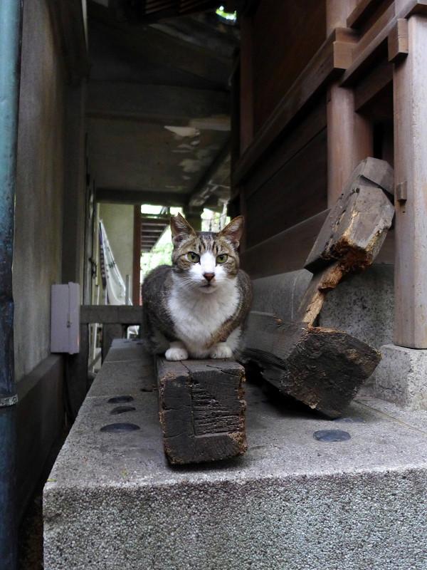本殿裏側のキジ白猫1