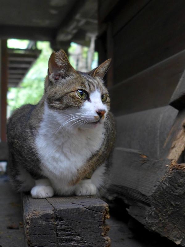 本殿裏側のキジ白猫2