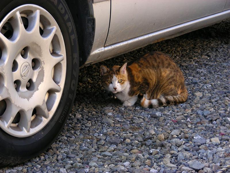 砂利駐車場の三毛猫1