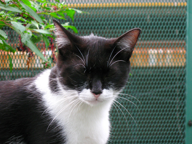 金網前の黒白猫1