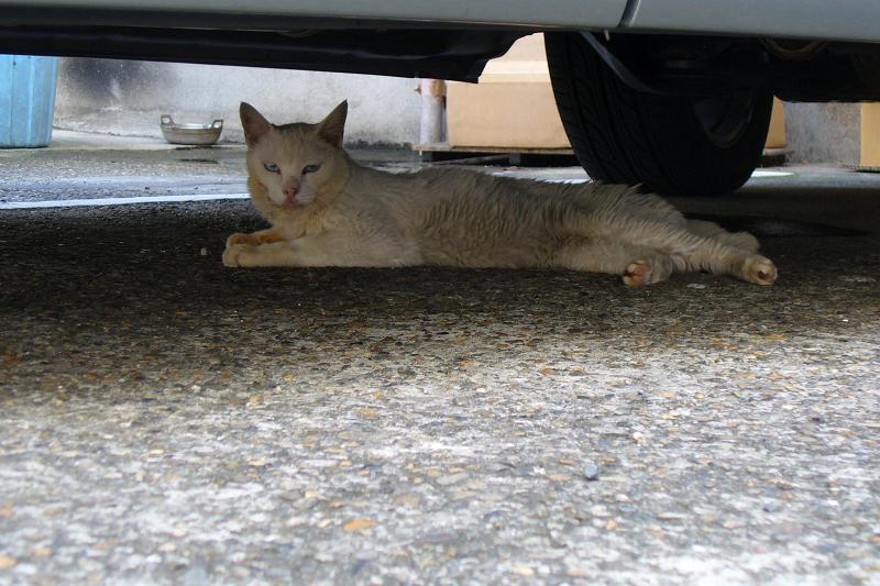 車の下にいた白猫1
