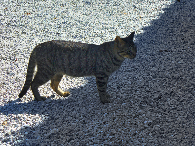 砂利の上のキジトラ猫1