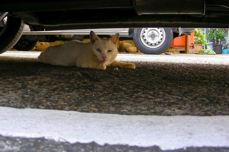 車の下にいた白猫2