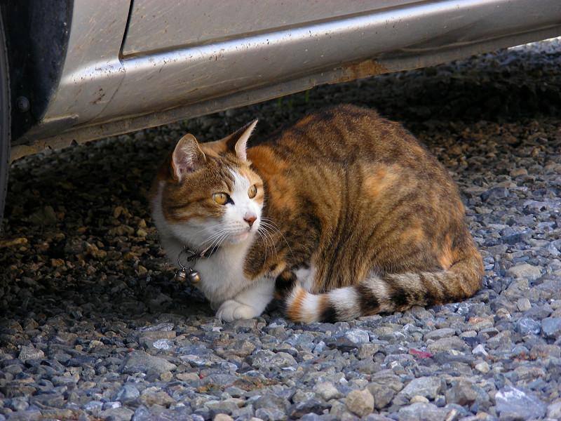 砂利駐車場の三毛猫2