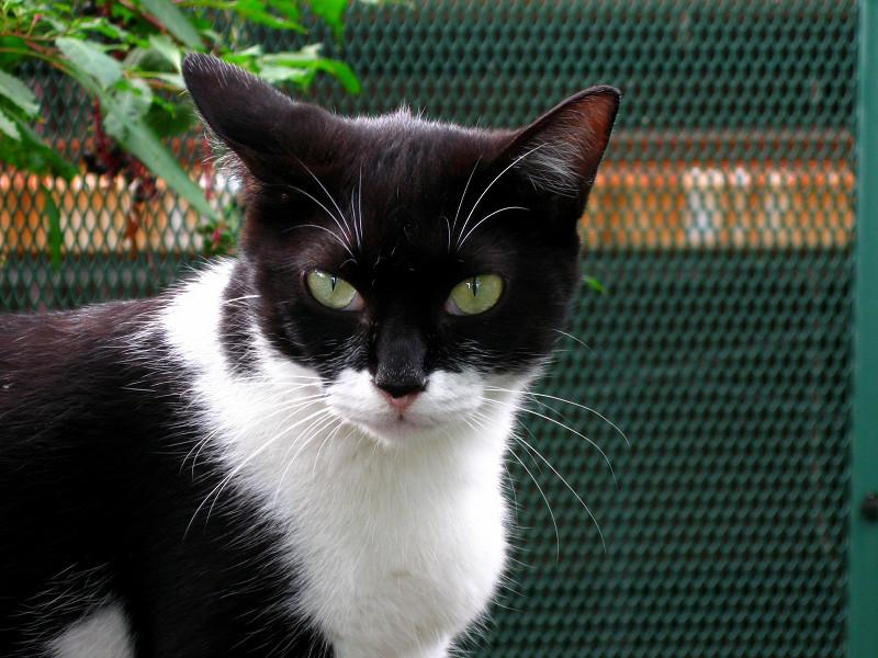金網前の黒白猫2