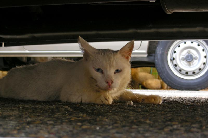 車の下にいた白猫3