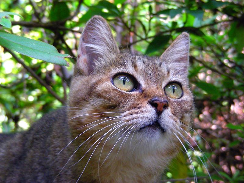 植え込みとキジトラ猫3